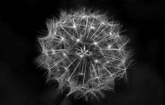 Close up em tons de cinza de um dente de leão com um fundo preto Foto gratuita