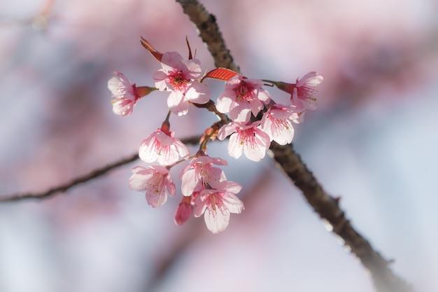 Close-up flor de cerejeira com suave Foto Premium