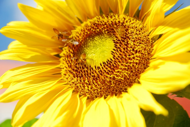 Close-up florescendo girassol no fundo do céu azul Foto Premium