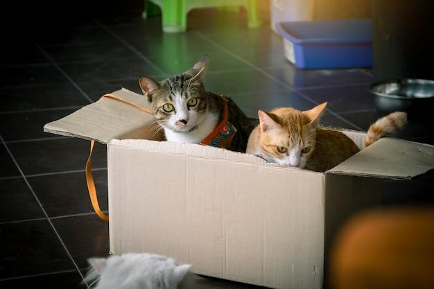 Close-up gato tailandês bonito brincar na caixa e fundo desfocado usando papel de parede ou backgroun Foto Premium