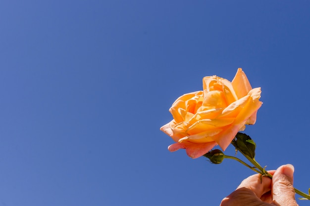 Close-up mão segurando rosa laranja Foto gratuita