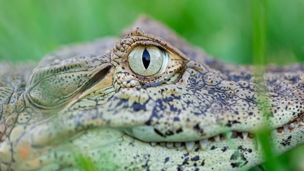 Close-up no jacaré amarelo (caiman latirostris) Foto Premium