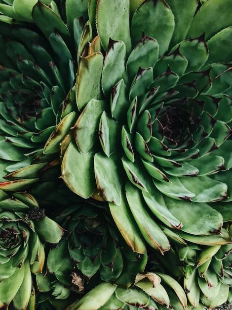 Close-up textura de suculentas. suculentas de cacto em uma plantadora Foto Premium