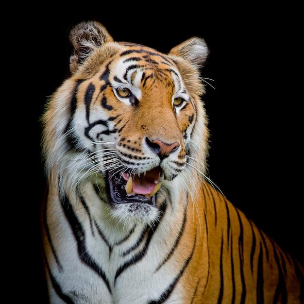 Close-up tigre de cara isolado em fundo preto Foto Premium