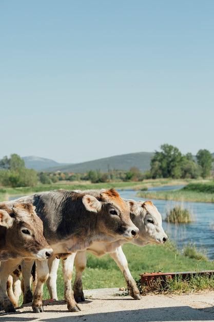 Close-up, vacas, andar, ligado, estrada sujeira Foto gratuita
