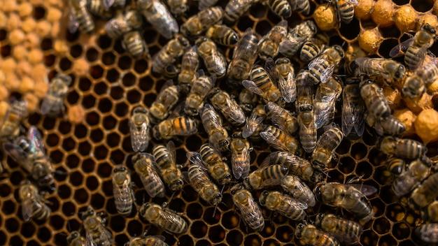 Close-up vista das abelhas trabalhando em células de mel. abelhas trabalhando no favo de mel Foto Premium