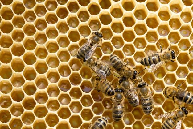 Close-up vista das abelhas trabalhando em células de mel. Foto Premium