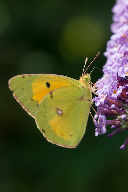 Close vertical de uma borboleta verde na flor de lavanda Foto gratuita