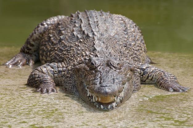 Closeup capítulos dos crocodilos. Foto Premium