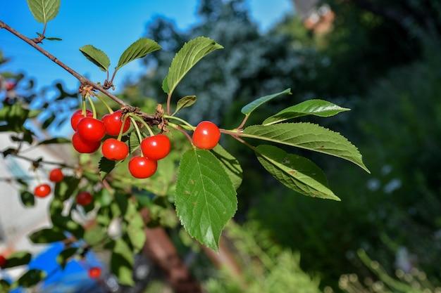 Closeup cereja fruta em um galho cereja fruta em um galho vermelho baga em um galho Foto Premium