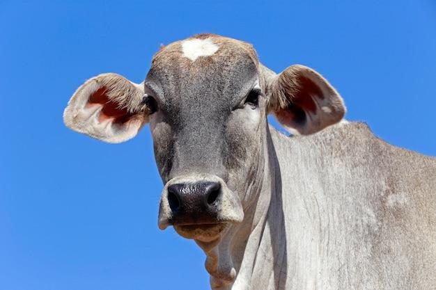 Closeup, de, cabeça bovina, sob, céu azul Foto Premium