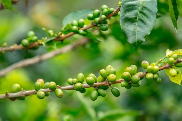 Closeup de grãos de café em galhos de árvores em um campo sob a luz do sol durante o dia Foto gratuita