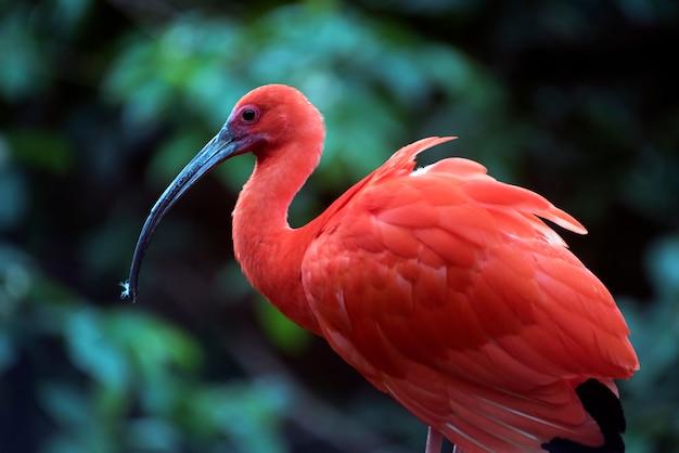 Closeup de ibis escarlate no tronco de árvore Foto Premium