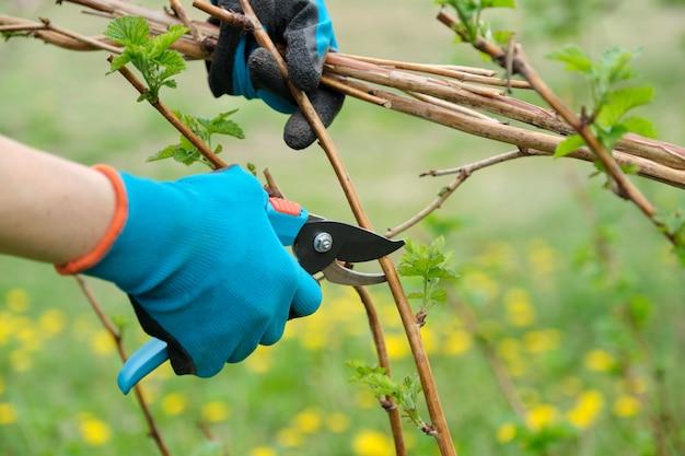 Closeup de mãos fazendo poda de primavera de arbustos de framboesa Foto Premium