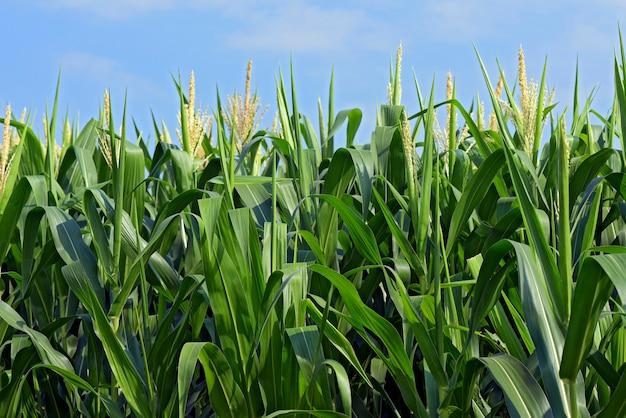 Closeup, de, milho, plantas, com, tassel Foto Premium