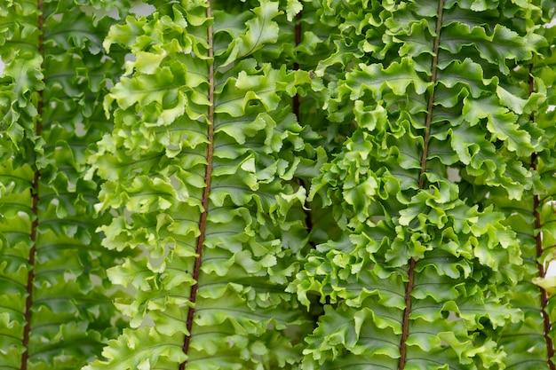 Closeup, de, samambaia boston, folhas Foto gratuita