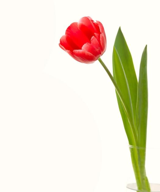 Closeup de tulipa vermelha. Foto gratuita