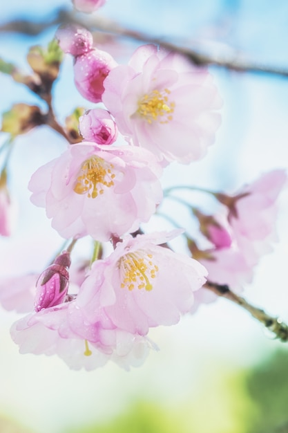 Closeup em flores de sakura Foto Premium