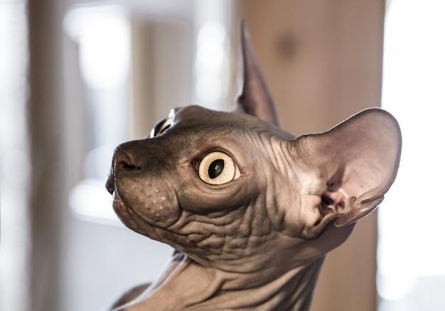 Closeup engraçado gengibre sphynx gato curiosamente olhando Foto Premium