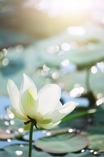 Closeup linda flor de lótus rosa na lagoa. Foto Premium