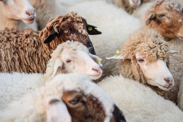 Closeup ovelhas esperam comida de turista no fundo da fazenda Foto Premium