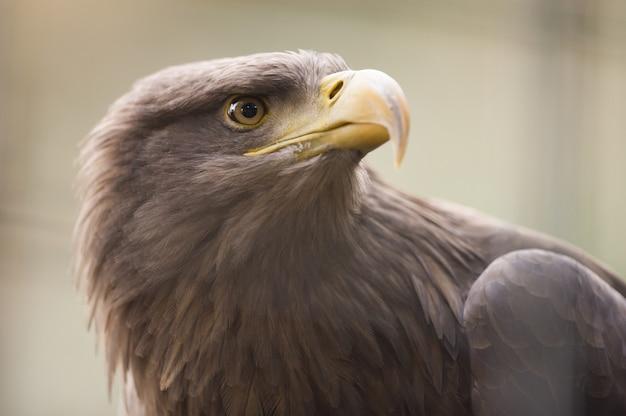 Closeup sot de uma águia dourada com uma turva Foto gratuita