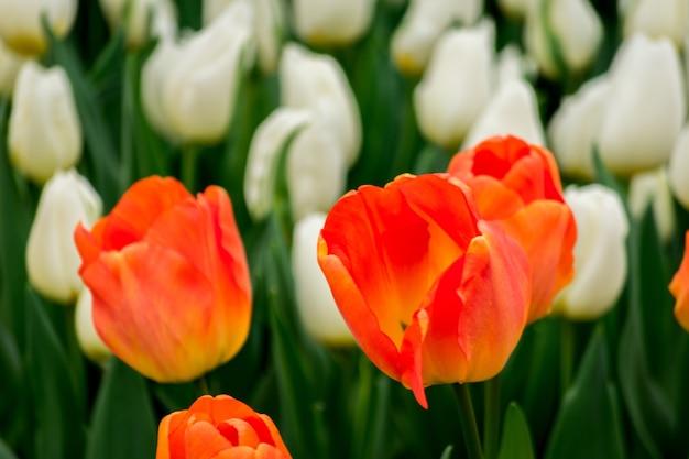Closeup tiro das flores da tulipa no campo em um dia ensolarado - perfeito para o fundo Foto gratuita