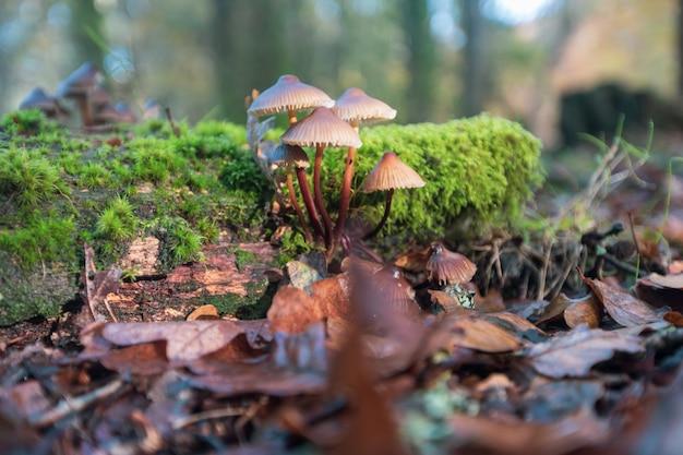 Closeup tiro de cogumelos cultivados em folhas secas na nova floresta, perto de brockenhurst, reino unido Foto gratuita