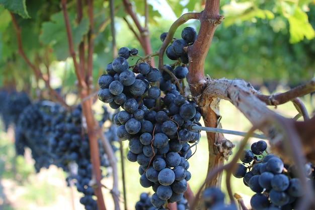 Closeup tiro de crunches de uva preta crescendo nas árvores Foto gratuita