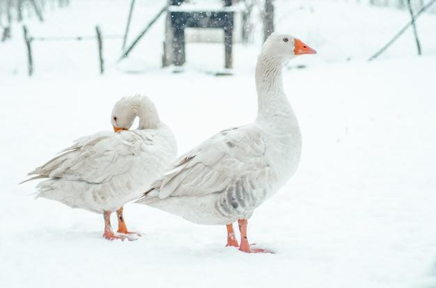 Closeup tiro de dois gansos fofos parados no chão nevado do lado de fora Foto gratuita