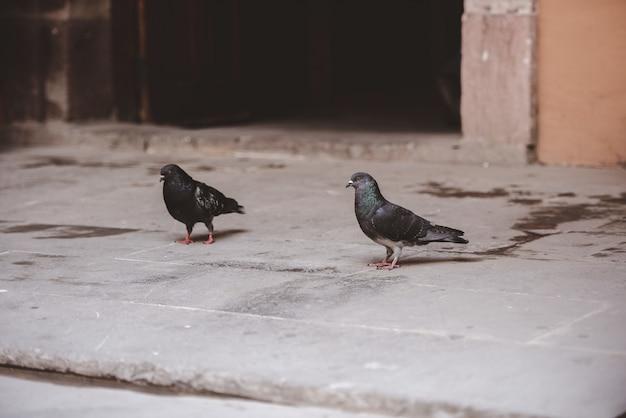 Closeup tiro de dois pombos andando no chão com um desfocado Foto gratuita