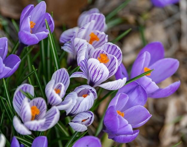 Closeup tiro de flores de açafrão desabrochando Foto gratuita