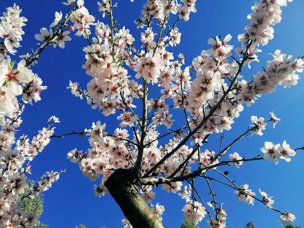 Closeup tiro de lindas flores brancas em amendoeiras e um céu azul Foto gratuita