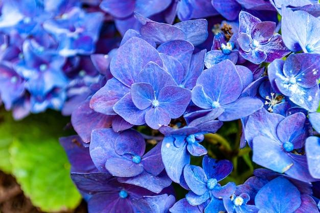 Closeup tiro de lindas flores de hortênsia Foto gratuita