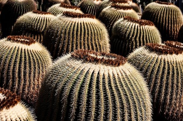 Closeup tiro de muitos cactos sob o sol em lanzarote, espanha Foto gratuita