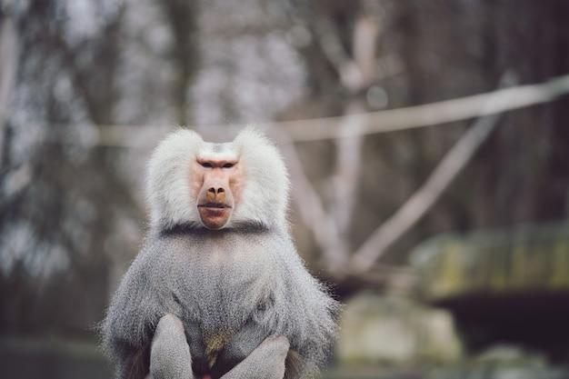 Closeup tiro de um babuíno hamadryas com uma bela capa prateada e branca Foto gratuita