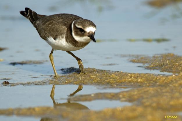 Closeup tiro de um belo pássaro dunlin água potável no lago Foto gratuita