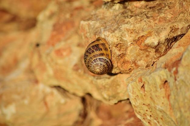 Closeup tiro de um caracol romano em um penhasco nas ilhas maltesas, malta Foto gratuita