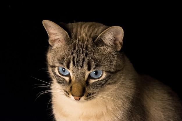 Closeup tiro de um gato cinza com olhos azuis em um fundo preto Foto gratuita