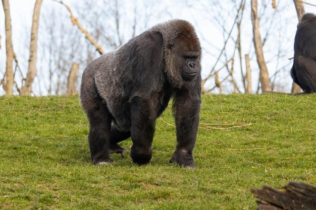 Closeup tiro de um gorila caminhando em um campo coberto de vegetação Foto gratuita