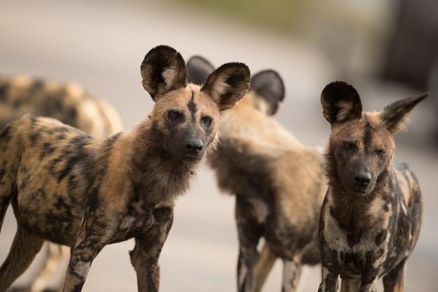 Closeup tiro de um grupo de cães selvagens africanos Foto gratuita