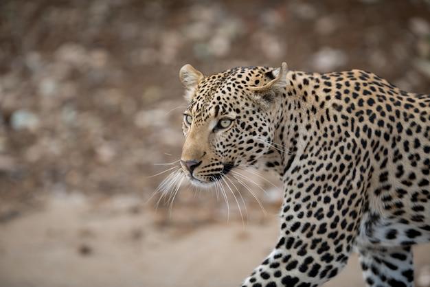 Closeup tiro de um leopardo africano Foto gratuita