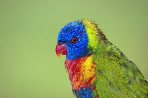 Closeup tiro de um papagaio colorido fofo em um fundo verde Foto gratuita