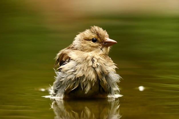 Closeup tiro de um pardal fofo em um lago com as penas molhadas em um fundo desfocado Foto gratuita