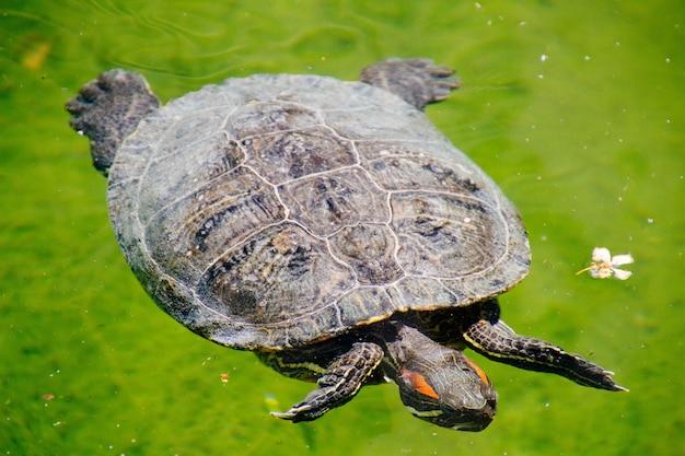 Closeup tiro de um tipo de tartaruga deslizante de orelhas vermelhas nadando na água Foto gratuita