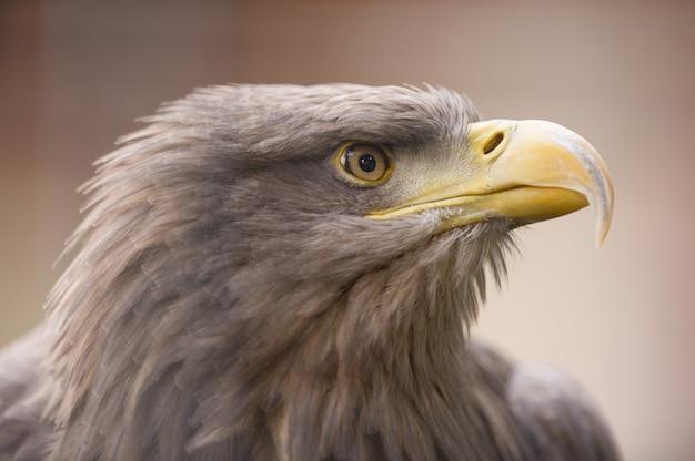 Closeup tiro de uma águia dourada, olhando para a distância Foto gratuita