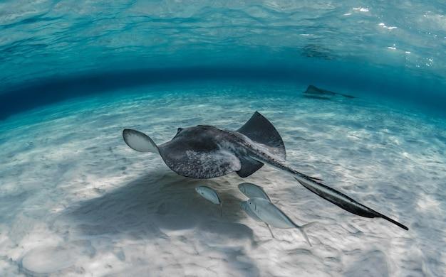 Closeup tiro de uma arraia nadando debaixo d'água com alguns peixes nadando embaixo dela Foto gratuita