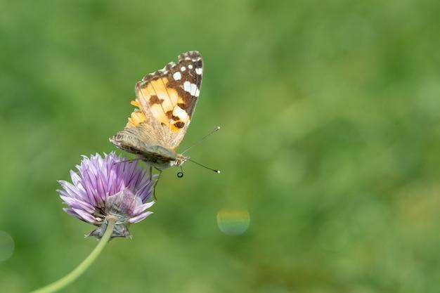 Closeup tiro de uma borboleta sentada em uma flor roxa Foto gratuita