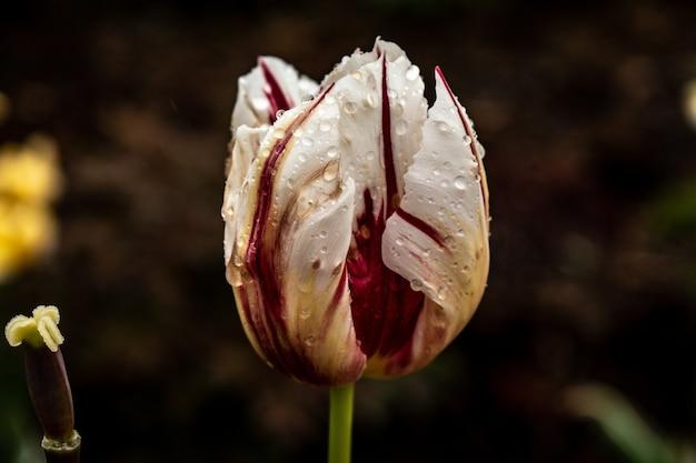 Closeup tiro de uma flor de tulipa branca e vermelha coberta com gotas de orvalho Foto gratuita