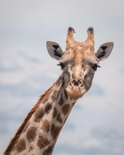 Closeup tiro de uma girafa bonitinha com um céu nublado Foto gratuita